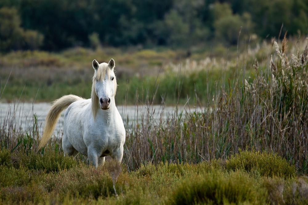Crin blanc, so werden die Camarguepferde hier genannt